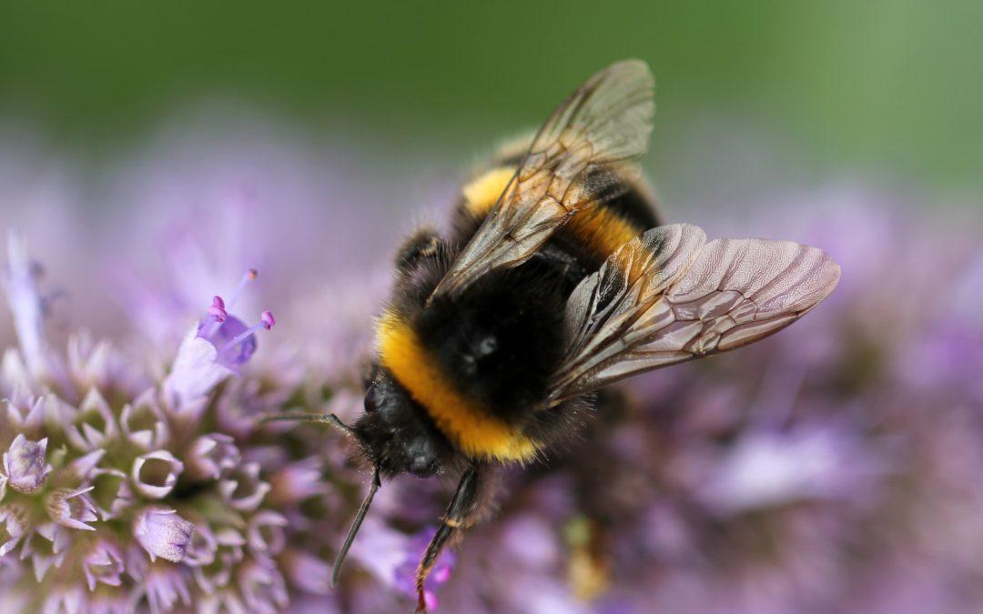 Wat is het verschil tussen wilde bijen of koloniebijen?