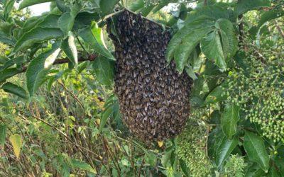 Hoe ontstaat een bijenzwerm?